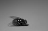 Emerald Fly